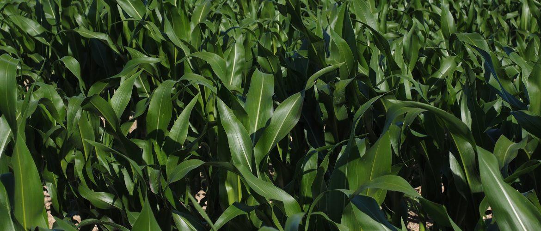 The Future of GMO Food – Minor Bros  Animal Health & Nutrition